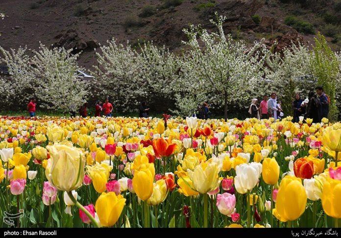 ایران ..أزهار التوليب