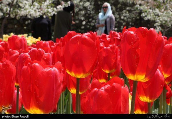 ایران .. أزهار التوليب14