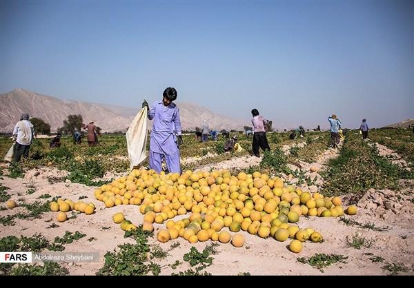 """جني """"الشمام"""" في محافظة هرمزكان جنوبي ايران 14"""