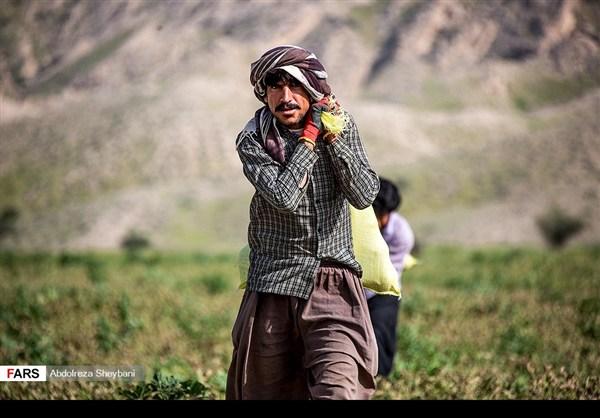 """جني """"الشمام"""" في محافظة هرمزكان جنوبي ايران 15"""