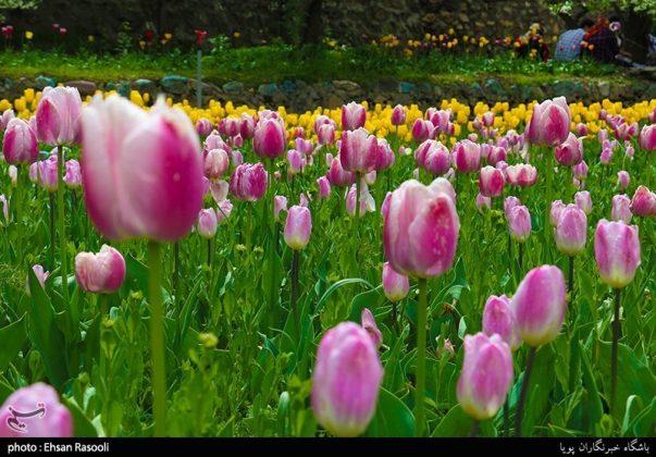ایران .. أزهار التوليب16