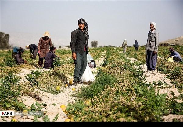 """جني """"الشمام"""" في محافظة هرمزكان جنوبي ايران 16"""