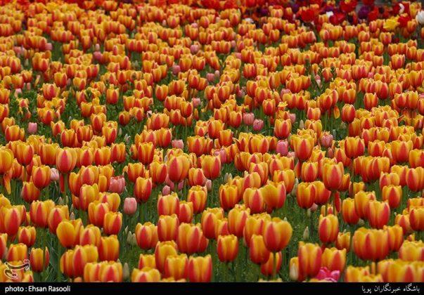 ایران .. أزهار التوليب17