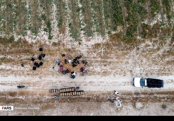 """جني """"الشمام"""" في محافظة هرمزكان جنوبي ايران 17"""