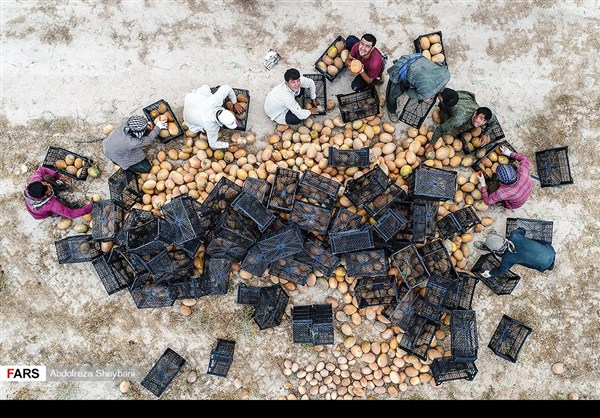 """جني """"الشمام"""" في محافظة هرمزكان جنوبي ايران 18"""