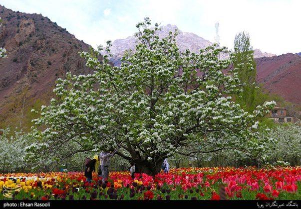 ایران .. أزهار التوليب19