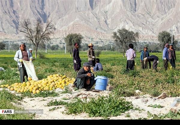 """جني """"الشمام"""" في محافظة هرمزكان جنوبي ايران 19"""