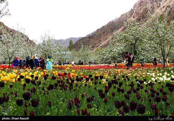 ایران .. أزهار التوليب2