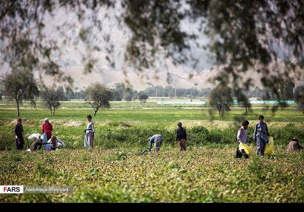 """جني """"الشمام"""" في محافظة هرمزكان جنوبي ايران 2"""