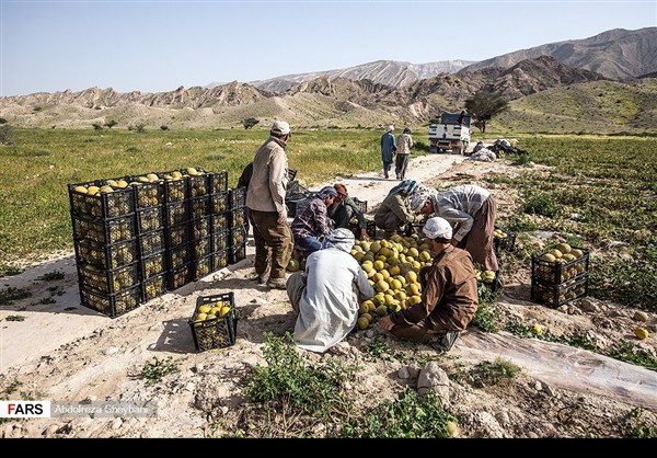 """جني """"الشمام"""" في محافظة هرمزكان جنوبي ايران 20"""