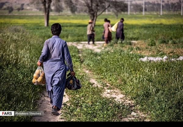 """جني """"الشمام"""" في محافظة هرمزكان جنوبي ايران 21"""