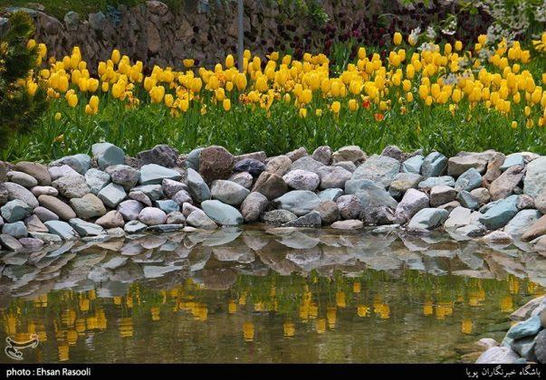 ایران .. أزهار التوليب22