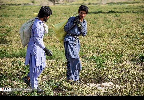 """جني """"الشمام"""" في محافظة هرمزكان جنوبي ايران 22"""