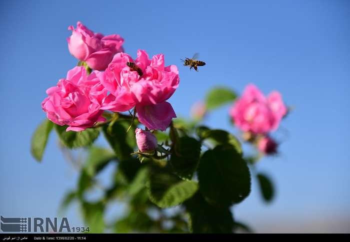 قطف الورد الجوری فی محافظة فارس الايرانية