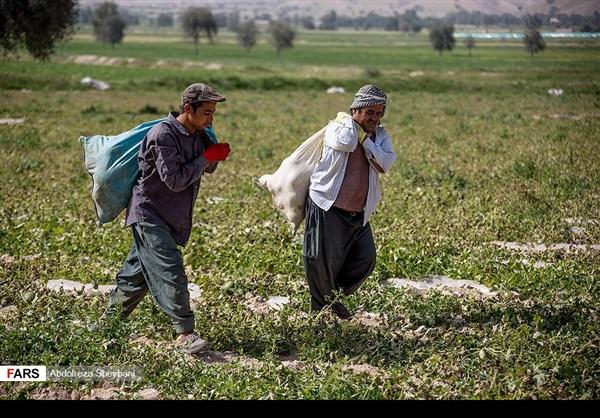 """جني """"الشمام"""" في محافظة هرمزكان جنوبي ايران 24"""