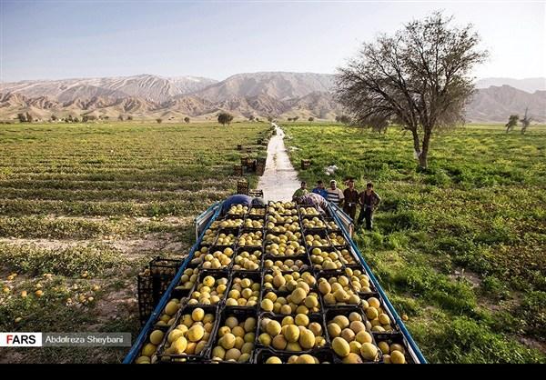 """جني """"الشمام"""" في محافظة هرمزكان جنوبي ايران 26"""