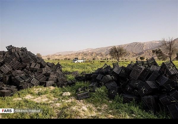 """جني """"الشمام"""" في محافظة هرمزكان جنوبي ايران 3"""