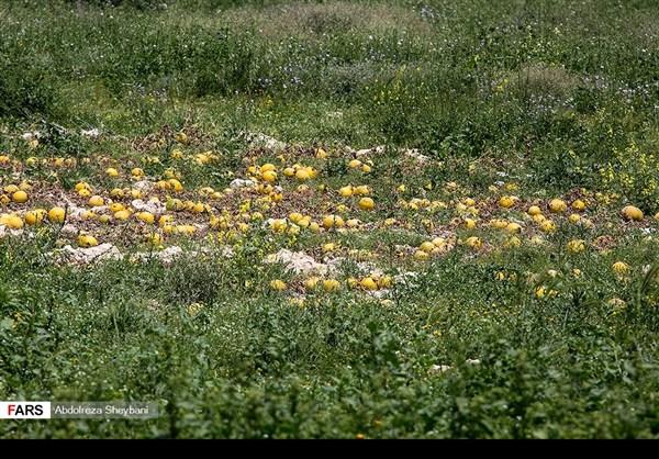 """جني """"الشمام"""" في محافظة هرمزكان جنوبي ايران 4"""