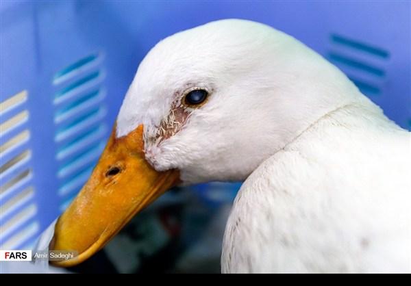 ايران .. جراحة إزالة الماء الأبيض من عين بطة 4