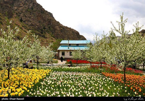 ایران .. أزهار التوليب5