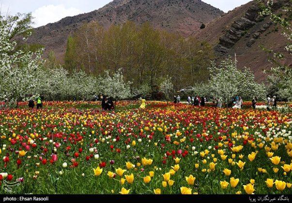 ایران .. أزهار التوليب6