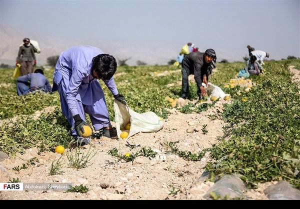 """جني """"الشمام"""" في محافظة هرمزكان جنوبي ايران 6"""