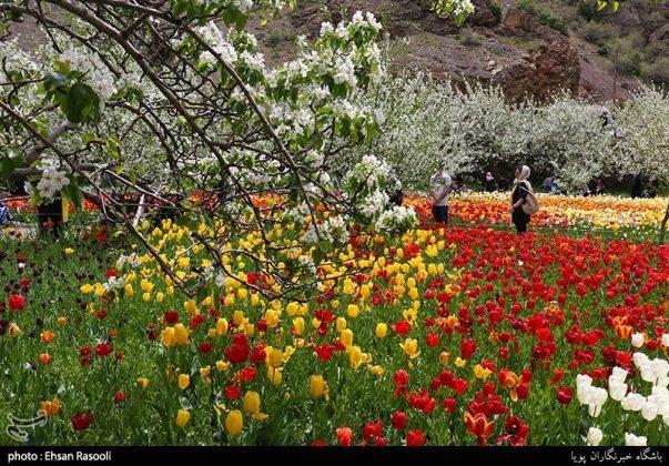 ایران .. أزهار التوليب7