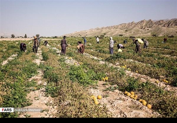 """جني """"الشمام"""" في محافظة هرمزكان جنوبي ايران 8"""