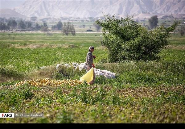 """جني """"الشمام"""" في محافظة هرمزكان جنوبي ايران 9"""