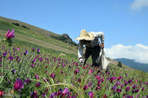 Farmers in Northern Iran Start Harvesting Borage11