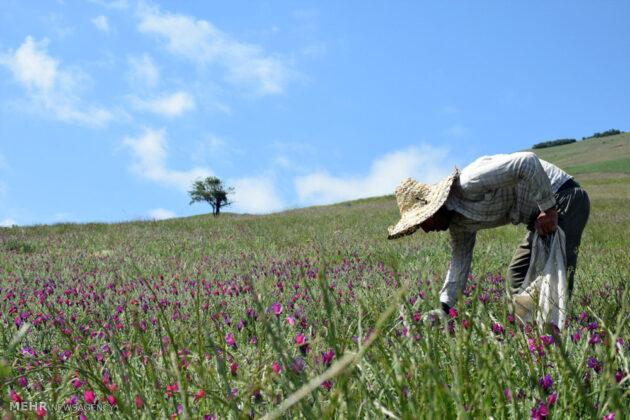 Farmers in Northern Iran Start Harvesting Borage12
