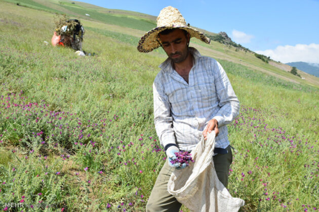 Farmers in Northern Iran Start Harvesting Borage13