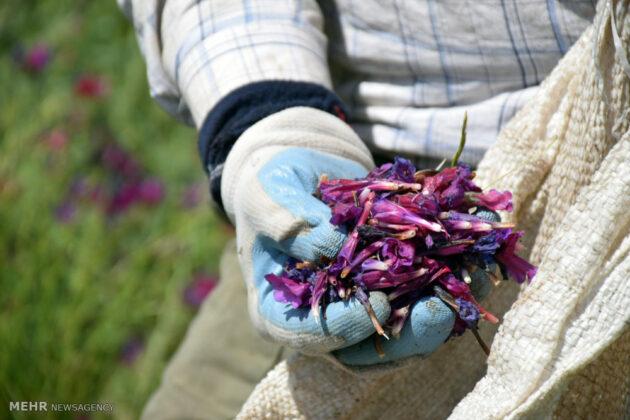Farmers in Northern Iran Start Harvesting Borage14
