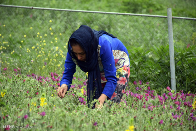 Farmers in Northern Iran Start Harvesting Borage16