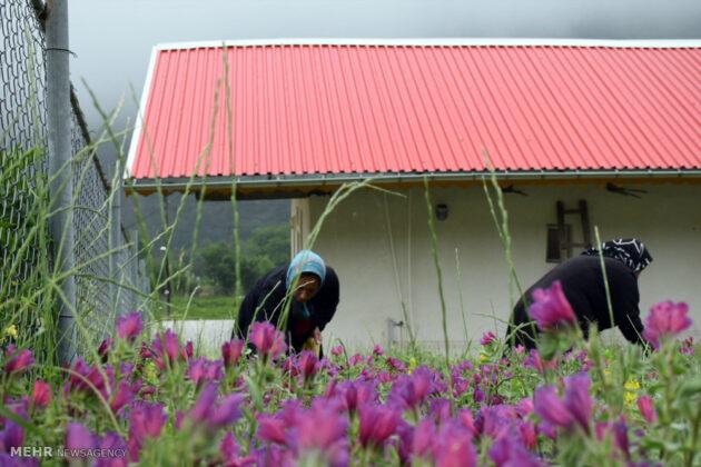 Farmers in Northern Iran Start Harvesting Borage17