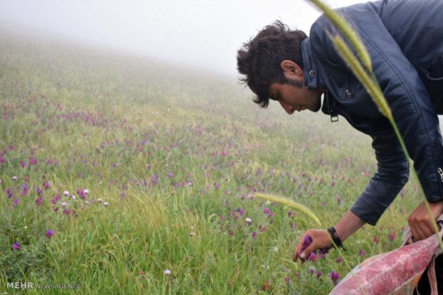 Farmers in Northern Iran Start Harvesting Borage3