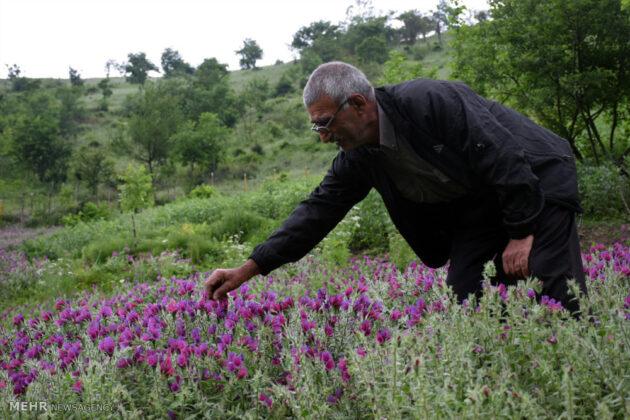 Farmers in Northern Iran Start Harvesting Borage4