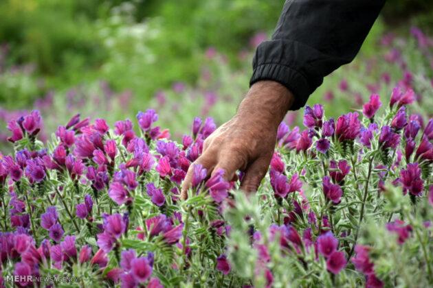 Farmers in Northern Iran Start Harvesting Borage5