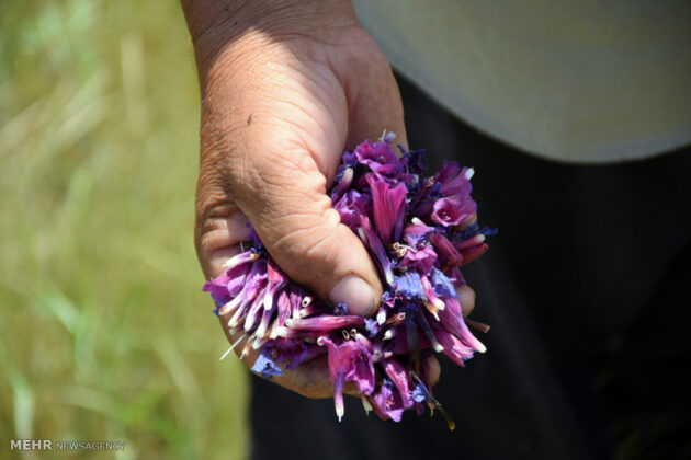 Farmers in Northern Iran Start Harvesting Borage7