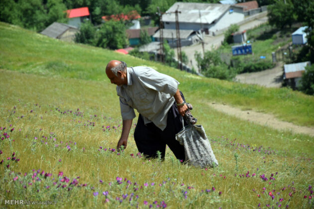 Farmers in Northern Iran Start Harvesting Borage8