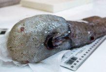 ماهی بیصورت، کشف عجیب استرالیاییها از اعماق اقیانوس