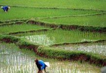 ايران تنتج61% من الرز في اسيا المركزية وغربها