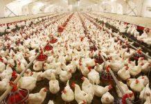 ايران تستأنف تصدير الدجاج للعراق وافغنستان ومستعدة لتموين قطر