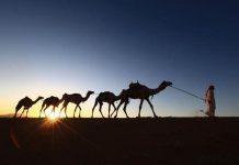 عربستان 12 هزار شتر قطری را اخراج کرد!