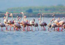 10 الاف طائر فلامينجو يختار ارومية مهجرا