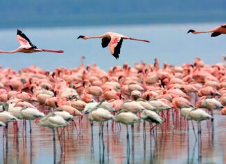 Thousands of Flamingos Delay Migration from Lake Urmia