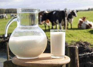 شیر گاو