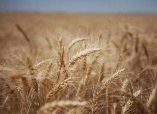 الفاو.. إنتاج ايران من القمح يسجل نموا بنسبة 25 بالمئة