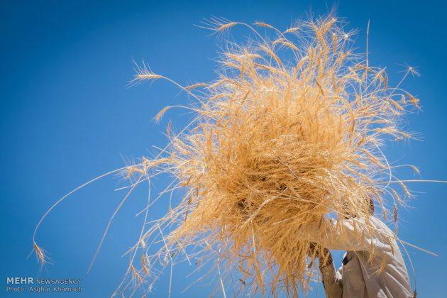 """حصاد القمح في قرية """"سُه"""" التاريخية باصفهان1"""