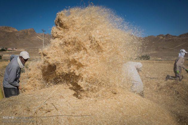 """حصاد القمح في قرية """"سُه"""" التاريخية باصفهان10"""